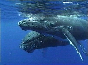 See the humpback whales underwater with the Underwater Viewing Rooms