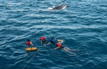 Swim with the whales is an option on the Quick Cat II Whale Watching tour