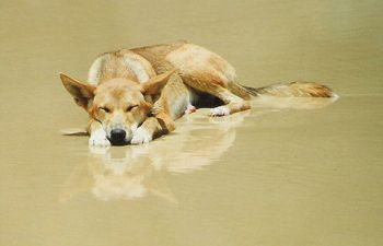 See the Fraser Island dingoes in style on the Fraser Explorer Premium Day Tour