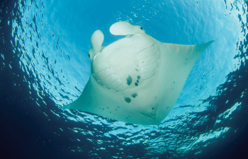 See manta rays and many more beautiful marine life on a Lady Elliot Island Day Trip