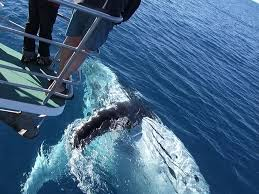 Get up close and personal on the Quick Cat II Whale Watching tour in Hervey Bay